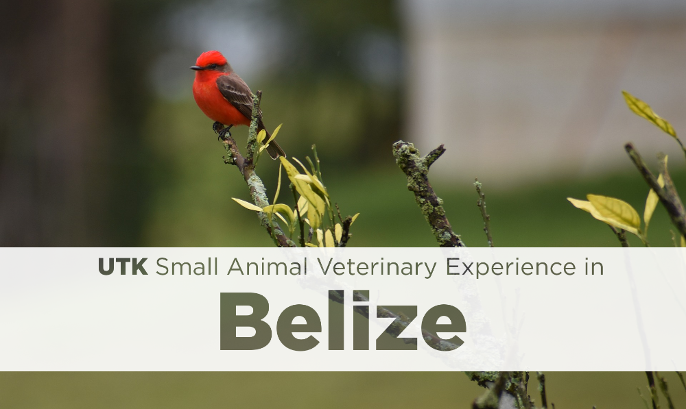 UTK Small Animal Veterinary Experience in Belize